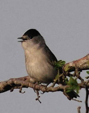 blackcap2_carrignagour_apr2011.jpg