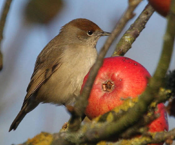 blackcap_ballinclamper_28112012_dc_img_2287_medium.jpg
