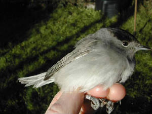 blackcap_male_brownstown_nov2003.jpg