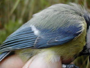 bluetitad_wing_bellelake_aug2002.jpg