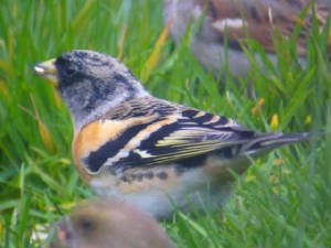 brambling_dungarvan_18march2006_2.jpg