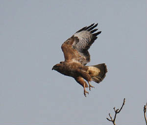 buzzard_ewfd_dc_28022013_img_7631_medium.jpg