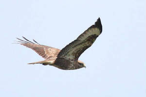 buzzard_nwcowaterford_13042010_img_2754_small.jpg