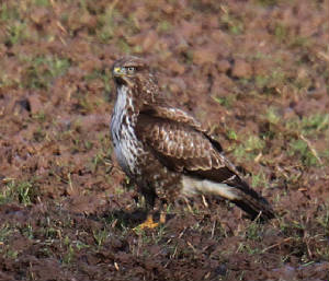 buzzard_wwfd_01022013_dc_img_4526_medium.jpg