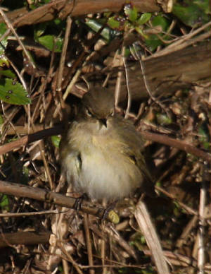 chiffchaff_silversprings_05122012_dc_img_2914_medium.jpg