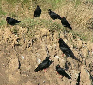 choughsgroup1_whitingbay_13nov2006.jpg