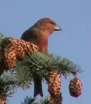 crossbill_male1_feb2006.jpg