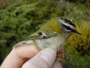 firecrest_1yf_brownstown_30oct2004_1.jpg