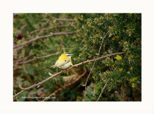 firecrest_brownstown_30032012_rz_mg_6690.jpg