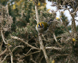 firecrest_brownstown_30032013_pd_1.jpg