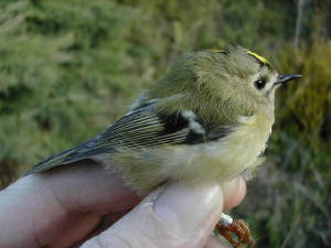goldcrest_1ym_brownstown_6oct2004.jpg