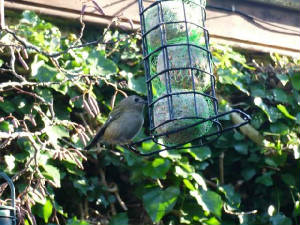 goldcrest_feeder_2009_01070037.jpg