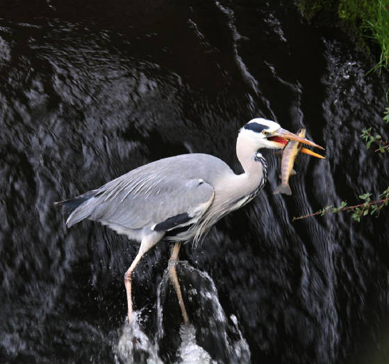 greyheron_nirevalley_15112012_dc_img_0706_medium.jpg