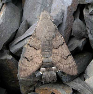 hummingbird-hawk-moth-wexfo.jpg