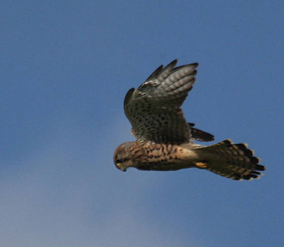 kestrel_helvick_16092012_dc_img_6304_medium.jpg