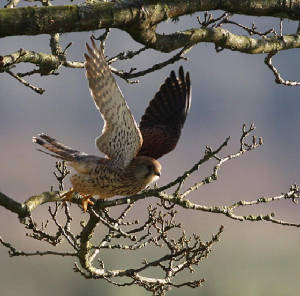 kestrel_lismore_02022013_dc_img_5891_medium.jpg