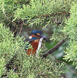 kingfisher_bunmahon_11112012_dc_img_0517_medium.jpg
