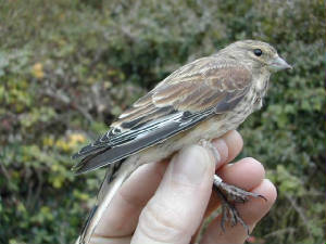linnet_brownstown_oct2002.jpg