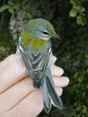 parula_1ym_brownstown_5oct2003.jpg