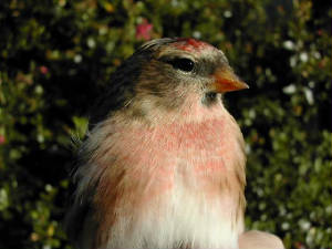 redpoll_admale_brownstown_17oct2004.jpg