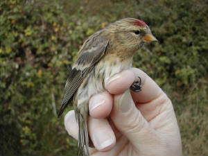 redpoll_brownstown_oct2002.jpg