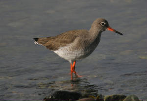 redshank_goldcoast_25022013_adm.jpg