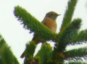 redstart_crobally_10sep2006.jpg