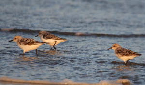 sanderling_ballinclamper_28040212_dc_img_4565_medium.jpg