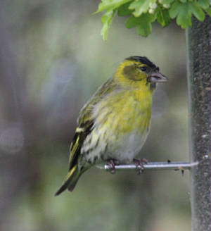siskin_male_strandside_21042012_dc_img_3700_medium.jpg