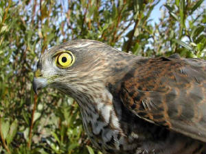 sparrowhawk_juvm_brownstown_19sept2004.jpg