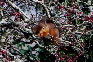 squirrel1_carrignagour_29112010.jpg