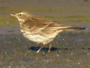 waterpipit_kilmeaden_15a_23jan2005.jpg