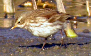 waterpipit_kilmeaden_17a_23jan2005.jpg