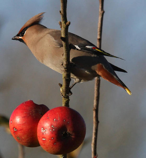waxwing_ballynacourty_28112012_dc_img_2035_medium.jpg