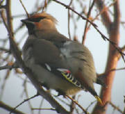 waxwing_female_abbeyside_45dec2004.jpg