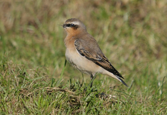 wheatear_beakless_ballyquin_01112012_adm_tongue.jpg