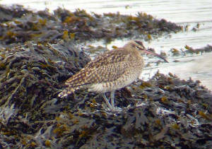 whimbrel_knockanpower_17dec2006.jpg