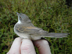 whitethroat_m_brownstown_2may2004.jpg