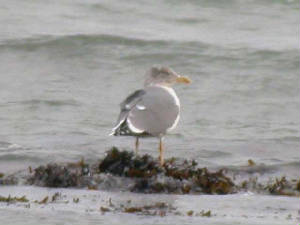 yellow-leggedgull4thwinter1.jpg
