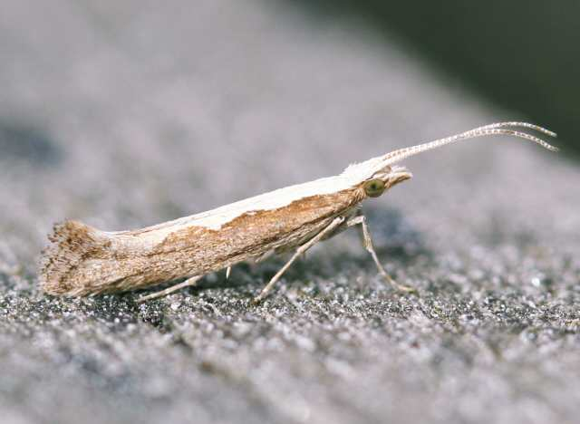 diamondbackmoth_riverstown_17july2007.jpg