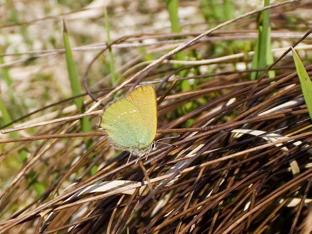 greenhairstreak_coumaraglin_19042011_lc.jpg