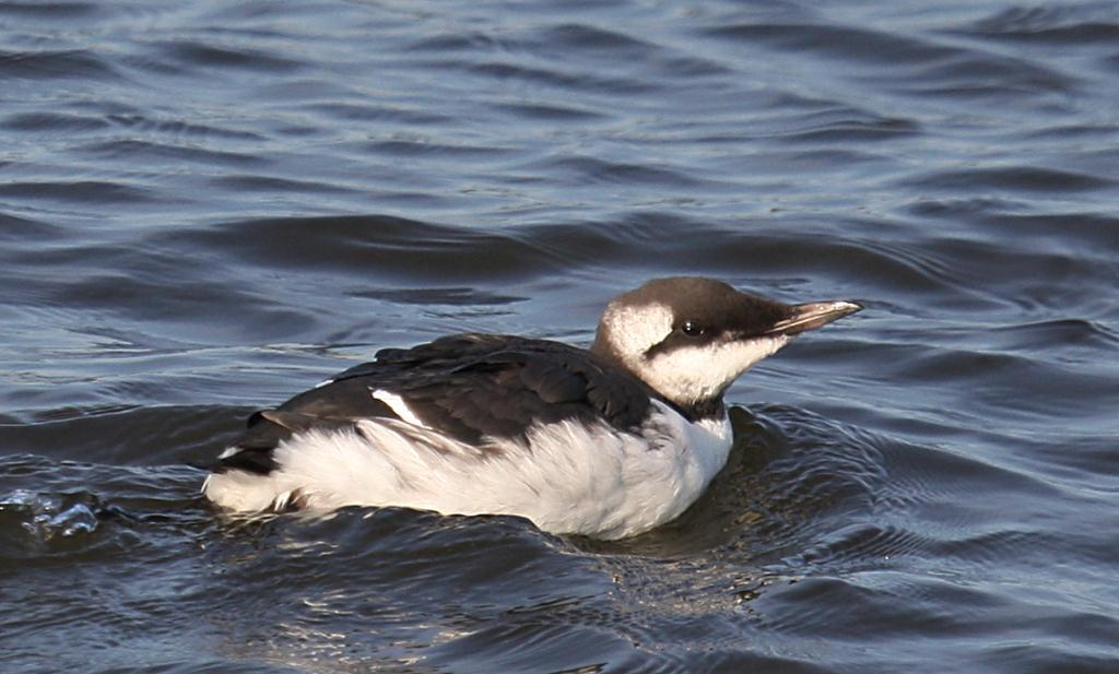 guillemot_dungarvan_02092012_dc_img_4461_medium.jpg