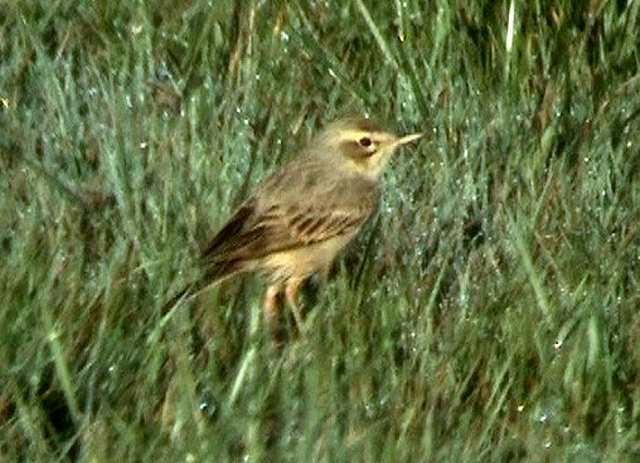 tawnypipit2_brownstown_27042008.jpg