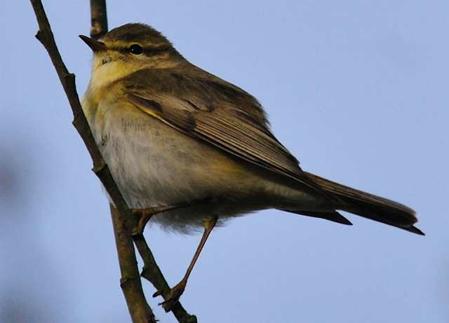 willowwarbler3_carrignagour12042011.jpg
